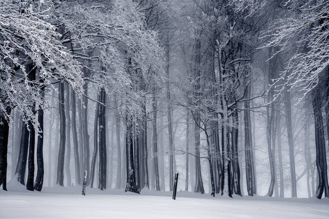 Russian Front, Image of Snow Covered Woods