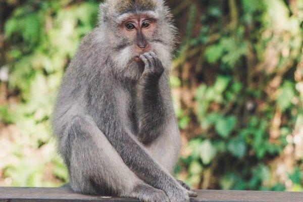 Monkey sat on wooden platform