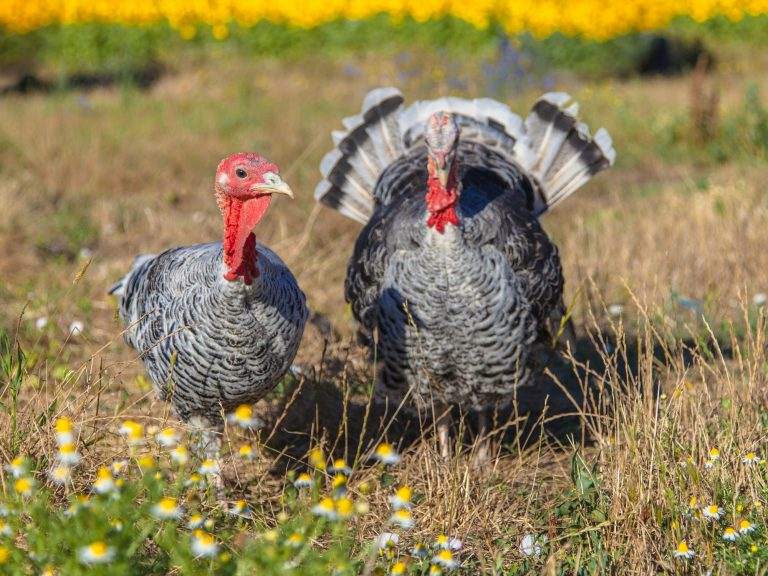 Male and Female Turkey, Who were the grocery Christmas turkeys? Grocery Sales Christmas 2020