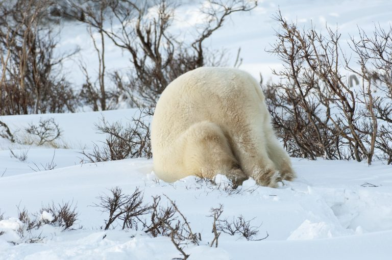 Polar bears in the wild. burying head, ignoring problem
