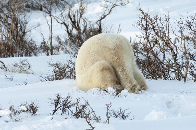 Polar bear in the wild, burying its head in the snow