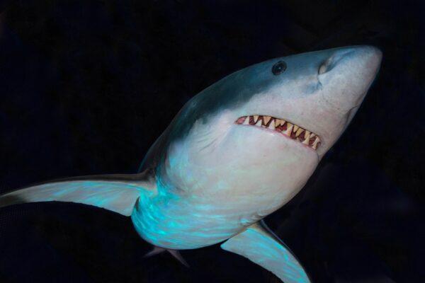Bottom view of a big shark