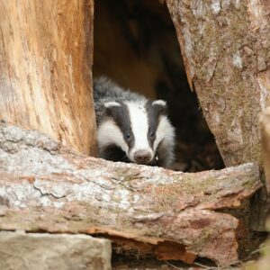 Badger hiding in a hole tree clearing