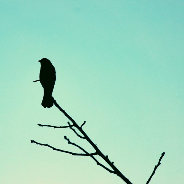Bird on branch silhouette against aqua background